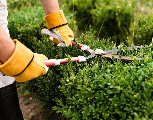 servizio di potatura siepi e alberi ad alto fusto vivaio cecchini